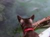 Piv holder øje med en ballonfisk.
