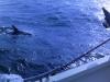 Piv holder øje med delfinerne